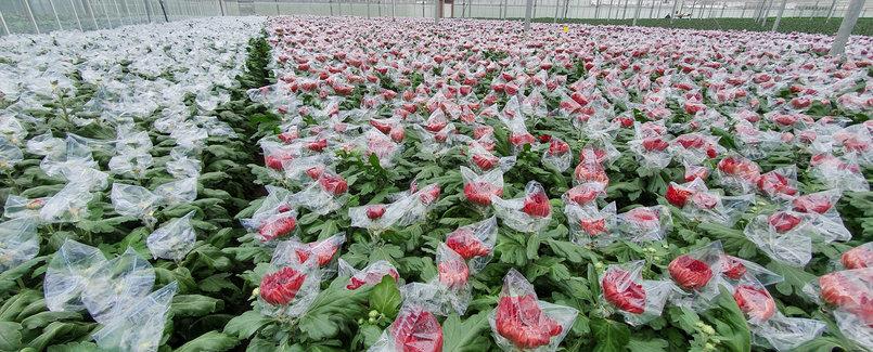 Sachets de protection pour chrysanthèmes