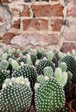 GRUUN Cactus XS - Opuntia microdasys albispina ∅5