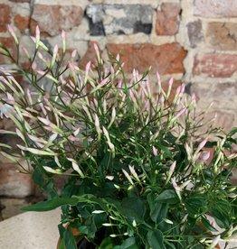 GRUUN Jasmin polyanthum ∅12 h30