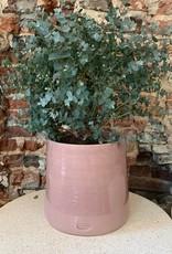 GRUUN Eucalyptus gunnii ∅26
