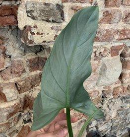 GRUUN Philodendron 'silver queen' ∅14