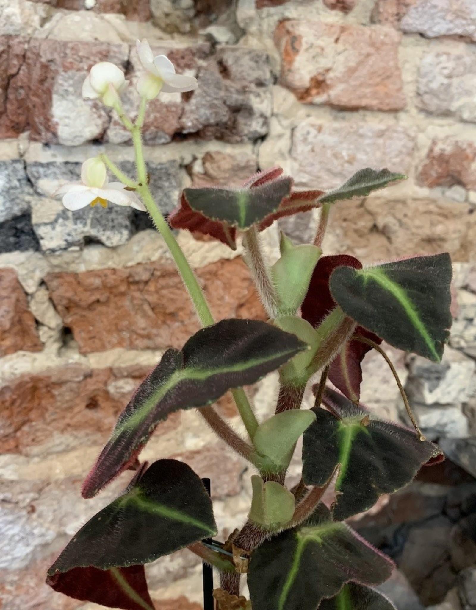 GRUUN Begonia listada