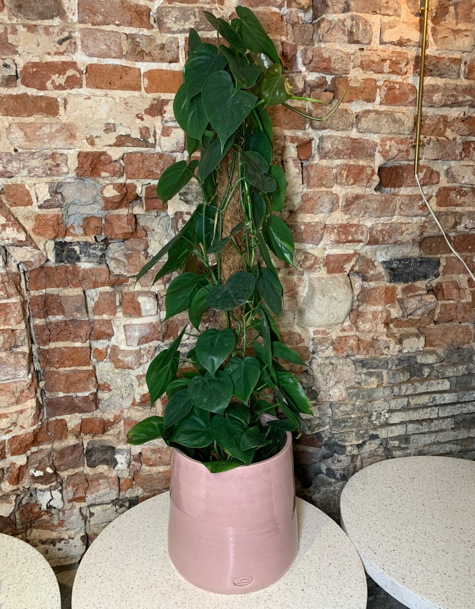 GRUUN Philodendron scandens Ø21 h100cm (moss pole)