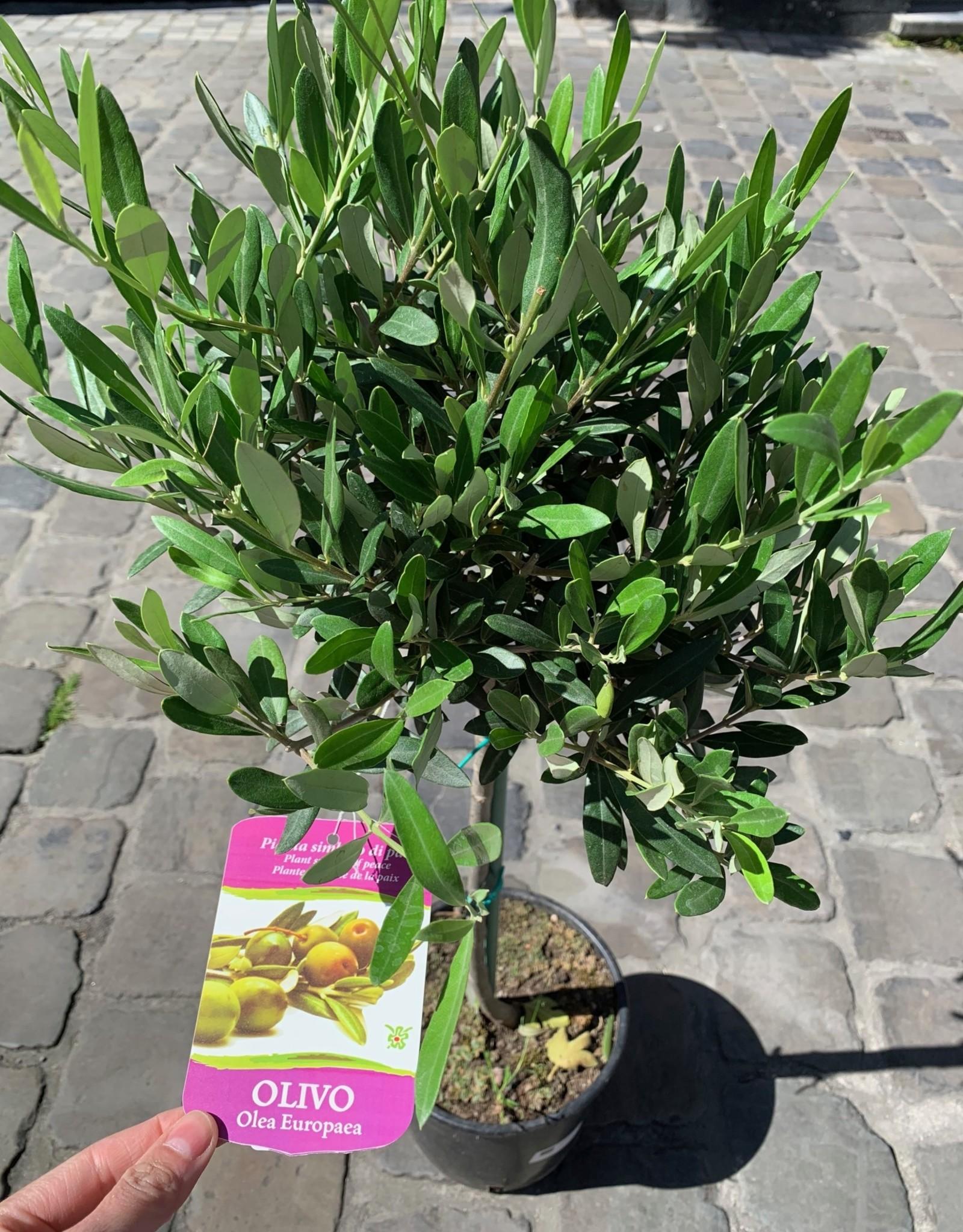 GRUUN Olea Europea [olive] Ø20 h110