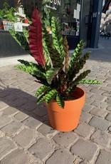 GRUUN Calathea lancifolia Ø17