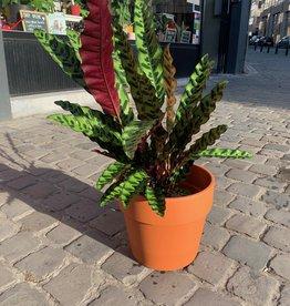 GRUUN Calathea lancifolia ∅17