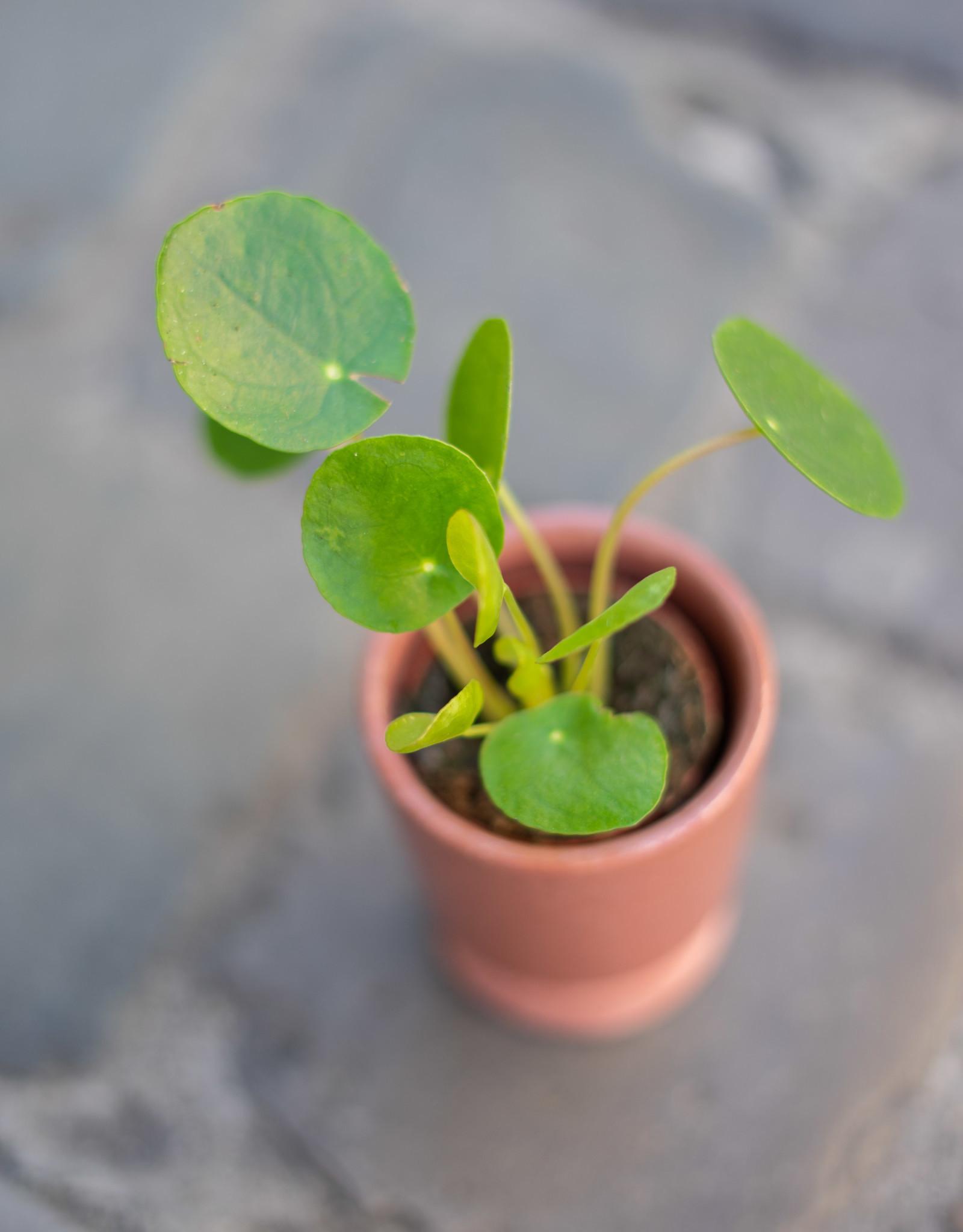 GRUUN Pilea peperomioides ∅5 h10