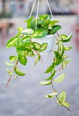 GRUUN Hoya carnosa 'Tricolor' ∅14 (hangpot)