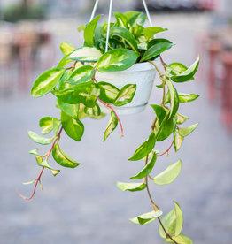 GRUUN Hoya Carnosa Tricolor ∅14 (hangpot)