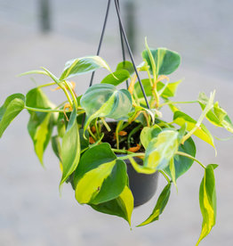 GRUUN Philodendron scandens Brasil (hangpot)