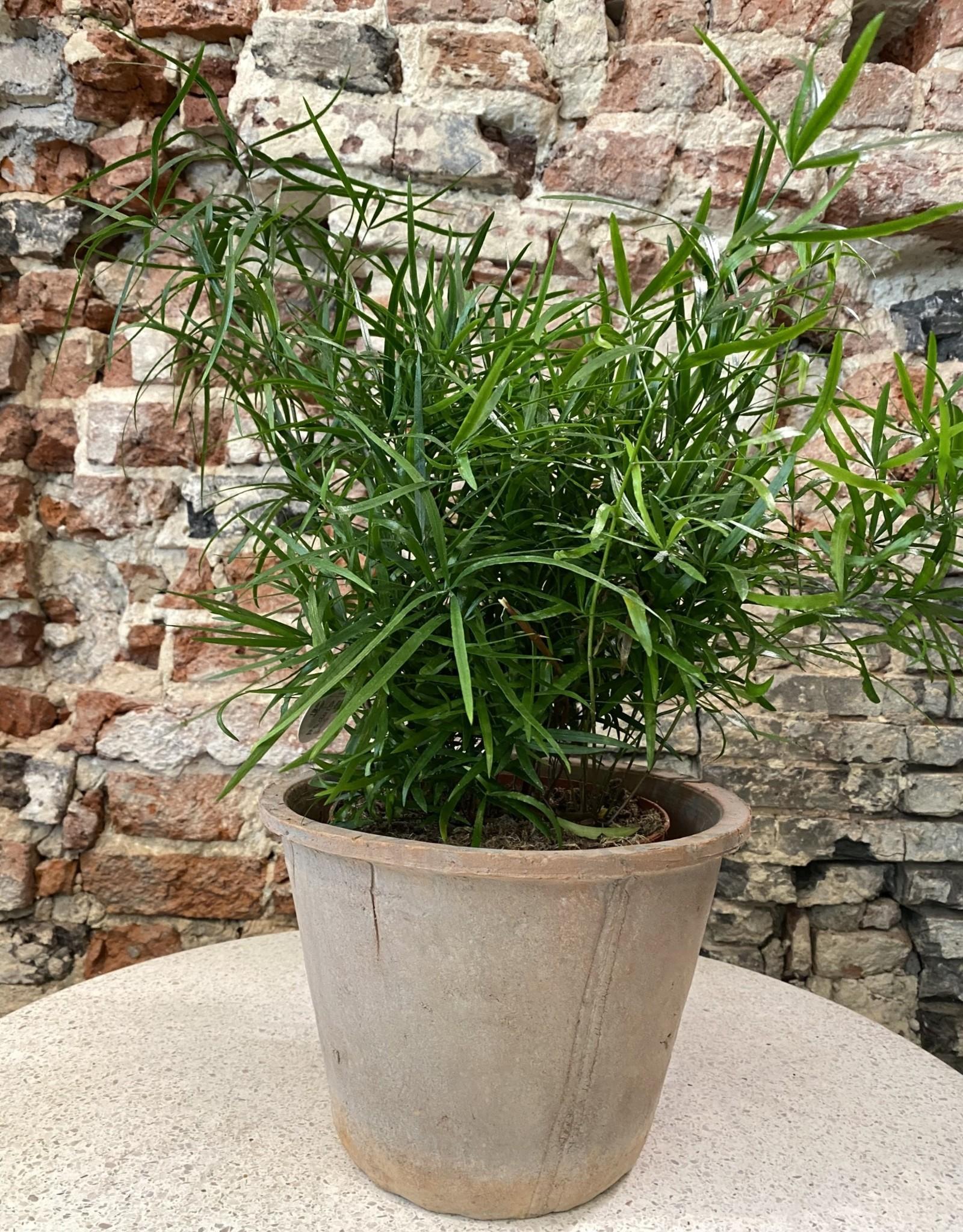 GRUUN Asparagus falcatus Ø17 h45