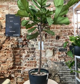 GRUUN Ficus lyrata ∅27