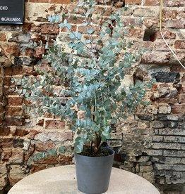 GRUUN Eucalyptus gunnii ∅16