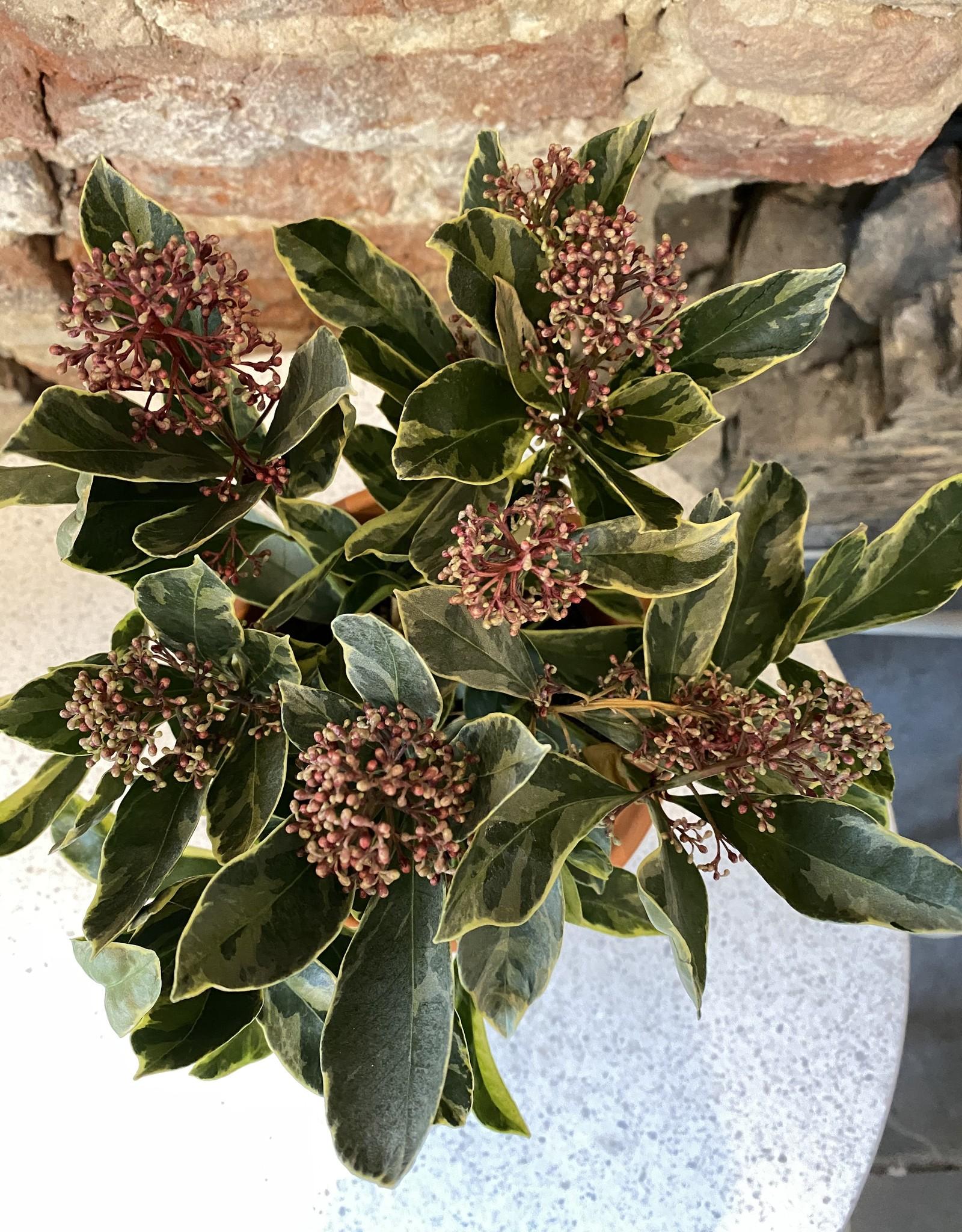 GRUUN Skimmia japonica 'Perosa' ∅13 h25