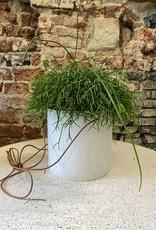 GRUUN Rhipsalis cassutha ∅17