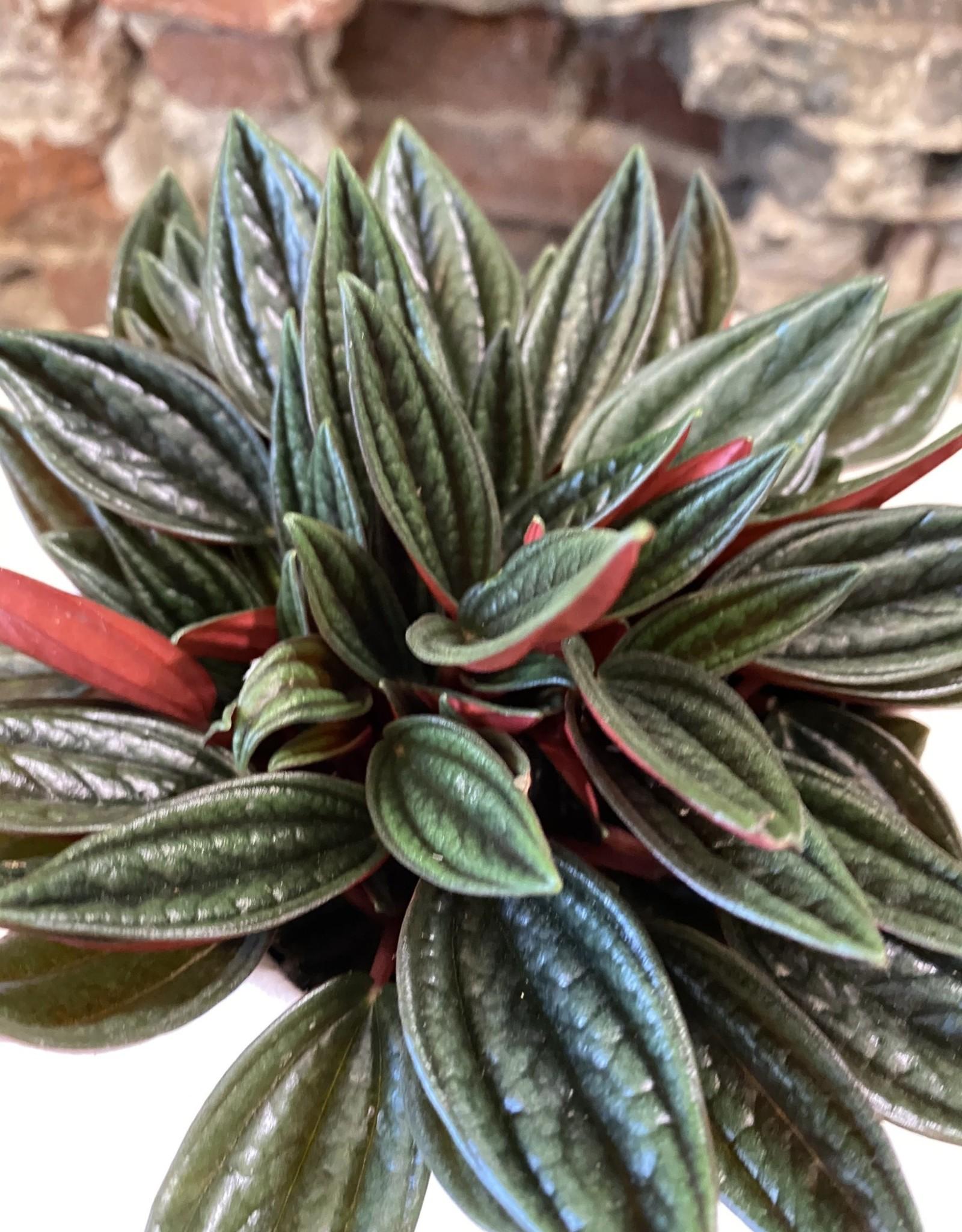 GRUUN Peperomia  caperata 'Rosso' ∅10