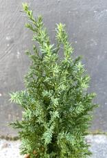 GRUUN Cupressus Goldcrest Wilma ∅11 h45