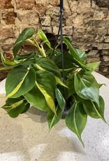GRUUN Philodendron 'Brasil' ∅15 (hangpot)