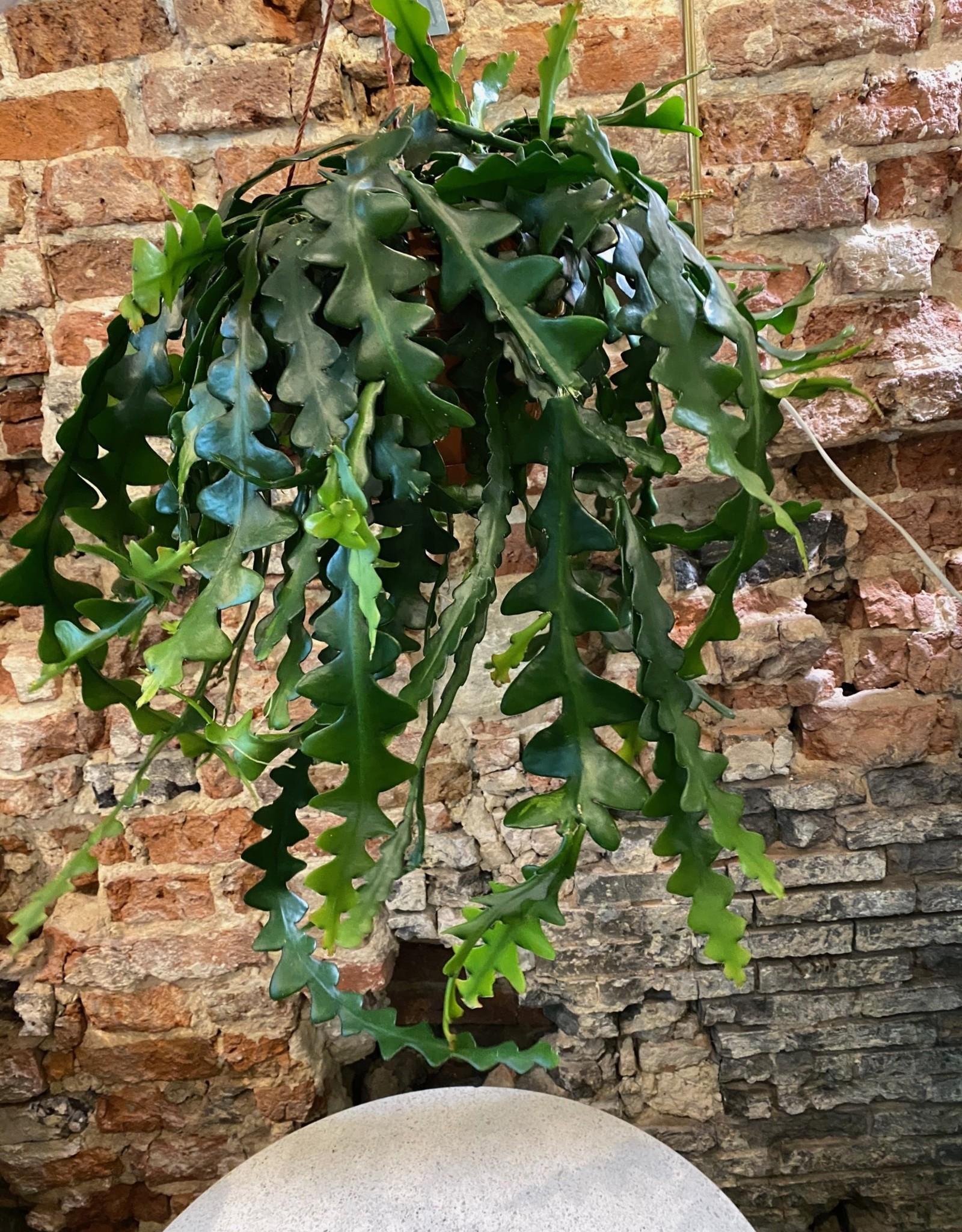 GRUUN Epiphyllum Pumilum [orchid cactus] ∅21