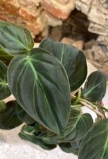 GRUUN Philodendron scandens 'Micans' (climbing) ∅12