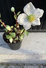 GRUUN Helleborus Niger Verboom White ∅12