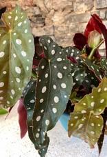 GRUUN Begonia maculata ∅12 h20