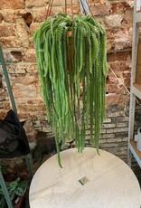 GRUUN Selenicereus validus (Epiphytic Cactus)