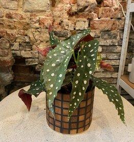 GRUUN Begonia maculata ∅14 h35