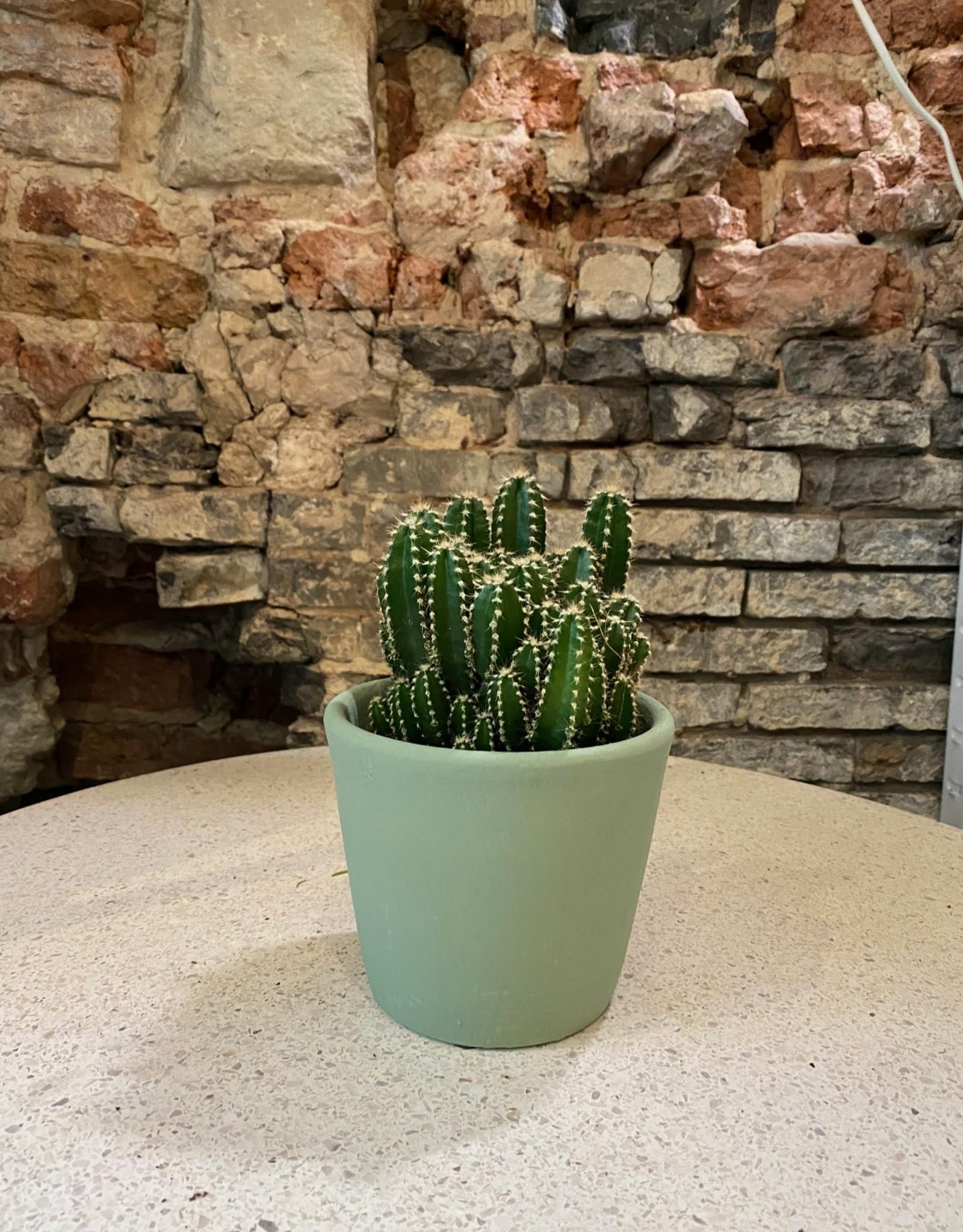 GRUUN Cereus peruvianus florida ∅10 h26