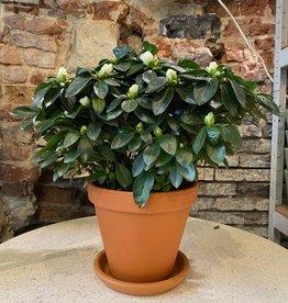 GRUUN Azalea simsii (indica) wit ∅14 h30