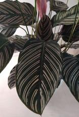 GRUUN Calathea ornata ∅24 h90