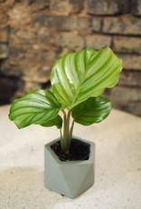 GRUUN Calathea orbifolia Ø6 h10