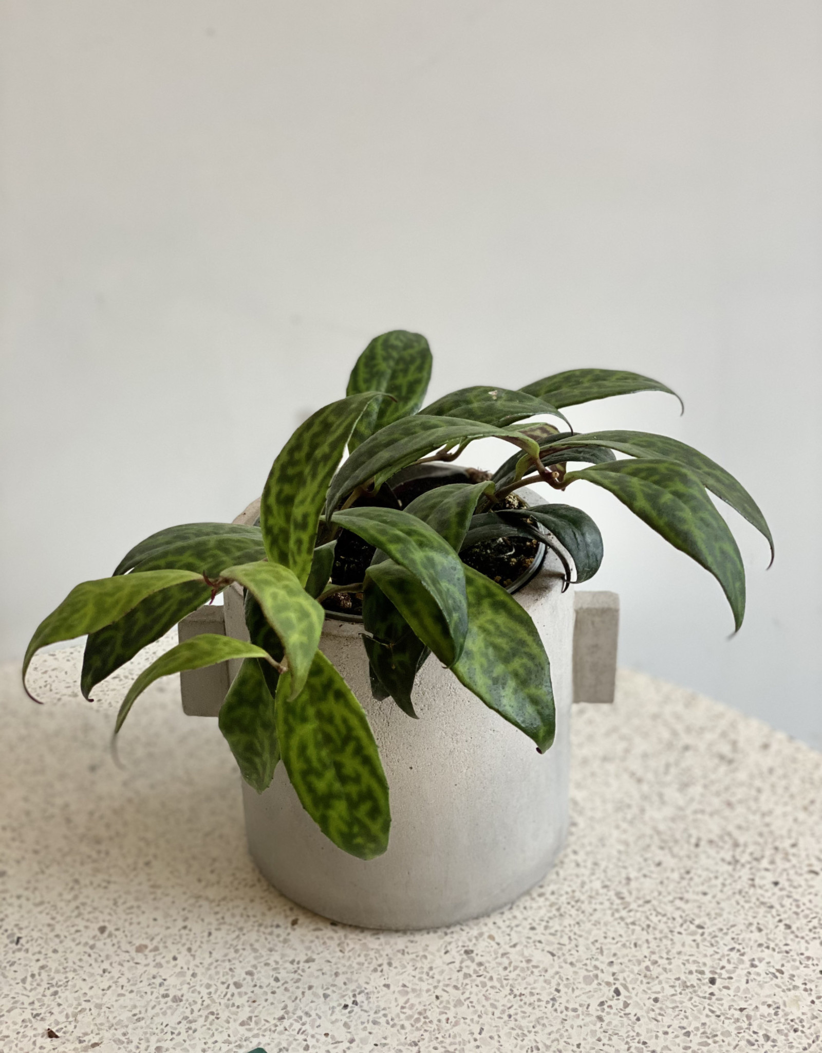 GRUUN Aeschynanthus marmoratus Ø11 h20