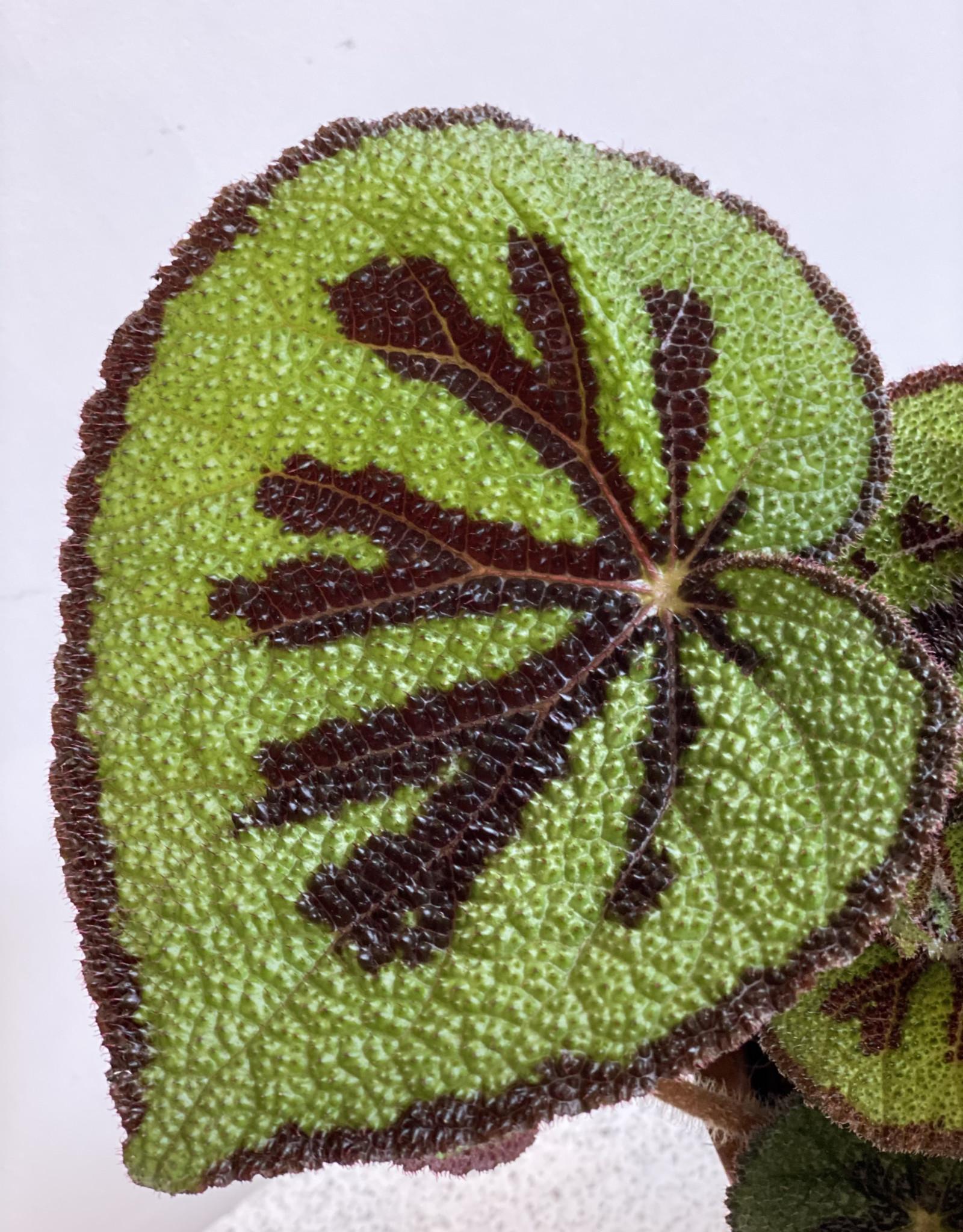 GRUUN Begonia blad Masoniana Ø12 h18