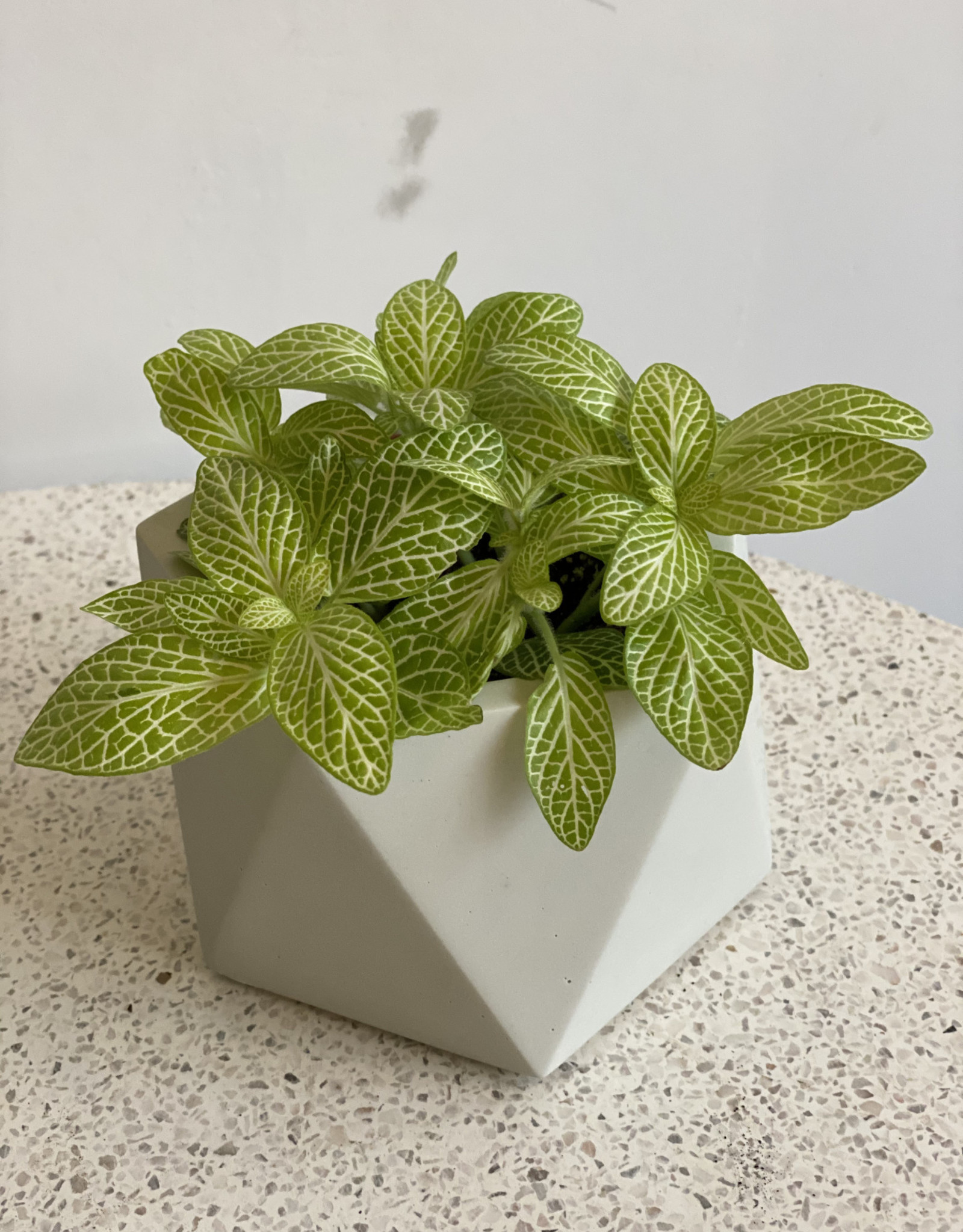 GRUUN Fittonia Specials Joly Lemon ∅8 h10