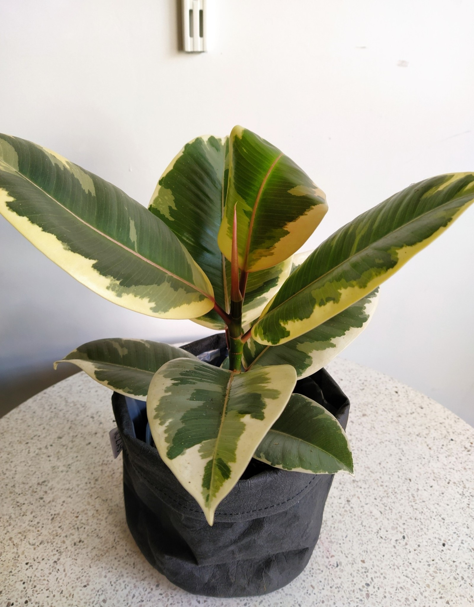 GRUUN Ficus elastica 'Tineke' Ø14 h35