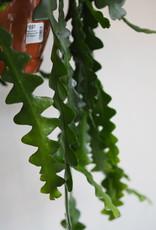 GRUUN Selenicereus anthonyanus Ø21 h60 (hangpot)