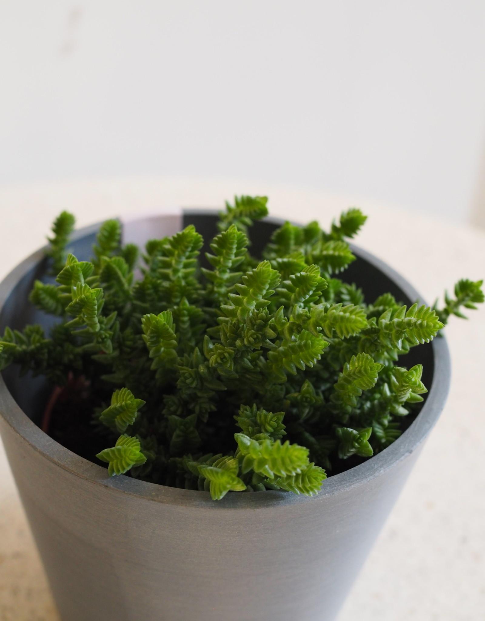 GRUUN Crassula Lycopodiodes ∅10 h15