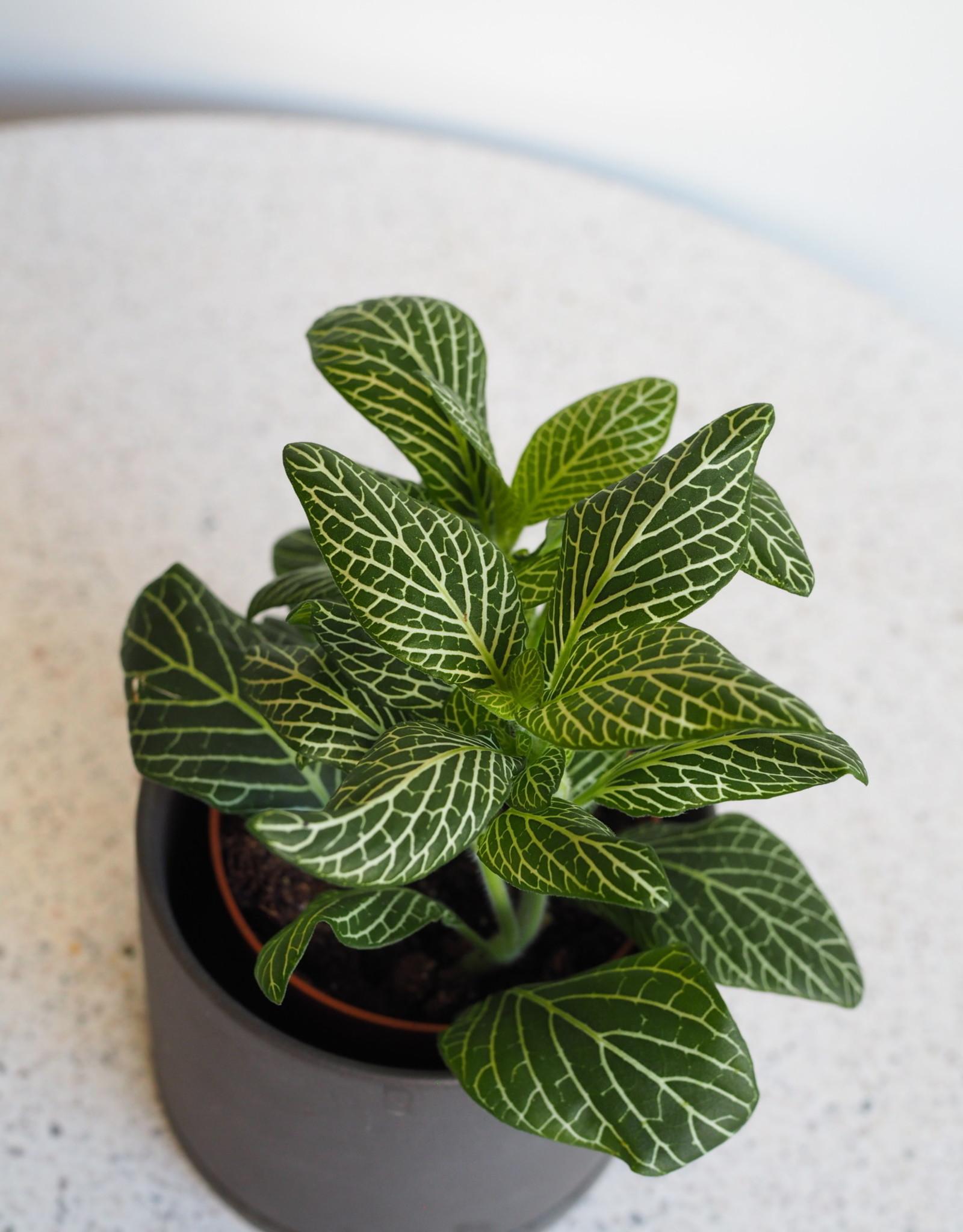 GRUUN Fittonia Big Leaf Bianco ∅8 h10