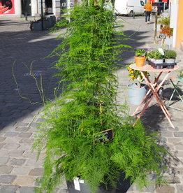 GRUUN Asparagus plumosus Ø31 h150