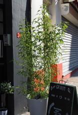 GRUUN Phyllostachys aurea [Golden Bamboo] ∅27 h40