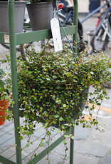 GRUUN Muehlenbeckia complexa 'Mao'ri'  ∅22 h40