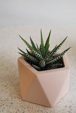 GRUUN Haworthia fasciata 'Alba' ∅5 h8