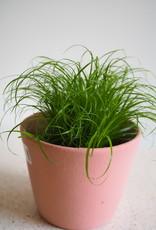 GRUUN Cat grass ∅12cm h30