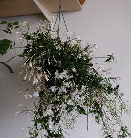 GRUUN Jasmin polyanthum ∅17 h50 [hangpot]