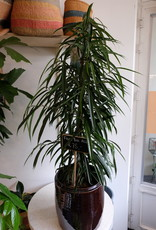 GRUUN Ficus Bin Alii '' Ø27 h135