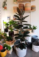 GRUUN Ficus elastica 'Abidjan' ∅29 h150