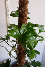 GRUUN Philodendron 'Florida' ∅19 h80