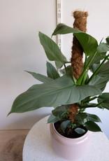 GRUUN Philodendron 'Silver Queen' ∅19 h80