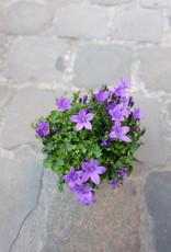 GRUUN Campanula 'porto ambella' Purple Ø10 h22